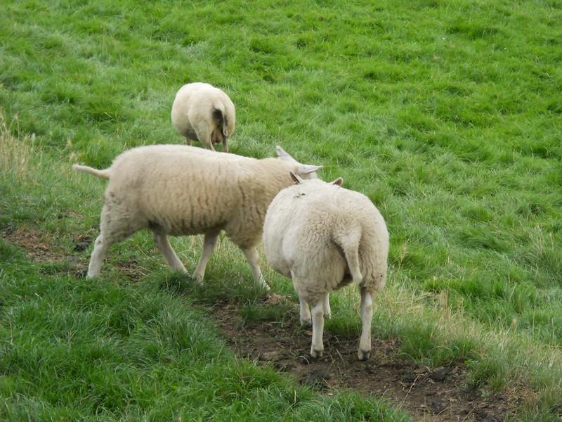 pecore, verde, strade, chiuse, acqua